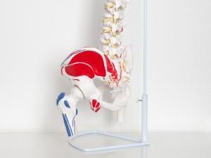 Modell des Rückens - Therapie bei Bandscheibenvorfall in Hamburg